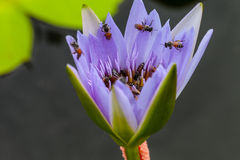 Lotus flower and bee stock photo