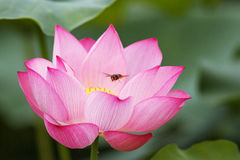 Lotus blossom and bee Stock Photo