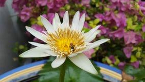 Lotus flower. Flower lotus bee white-lotus lotus-bee Royalty Free Stock Photography