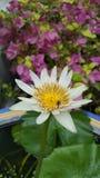 Lotus flower. Flower lotus bee white-lotus lotus-bee Stock Image