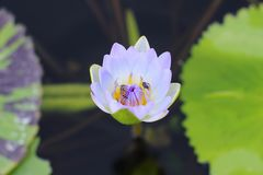 Macro photo of lotus flower with bees it may be design to your design graphic. Lotus flower with bees it may be designs to your design graphic stock images
