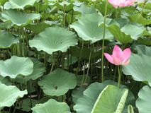 The lotus flower in Beijing Houhai Park Royalty Free Stock Image