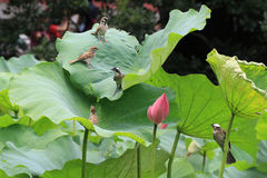 Lotus flower and birds Stock Image