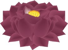 Lotus Flower Black Mauve Stock Fotografie