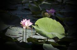 Lotus flower - RAW format Royalty Free Stock Photos
