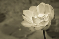 Lotus flower in black and white Stock Images