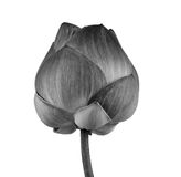 Lotus flower in black and white isolated on white background Stock Image