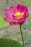 Lotus flower is colorful pure. Lotus flower in pink color, is colorful Stock Photos