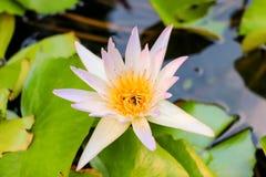 Lotus Flower blanca en la charca de agua con los insectos de vuelo de las abejas y los pétalos florecientes Imagen de archivo