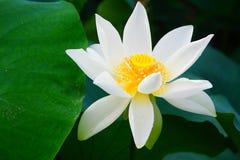 Lotus Flower blanche Photo libre de droits