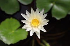 Lotus Flower blanche dans le pot central de l'eau photos stock