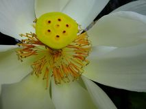 Lotus flower bloom. Lotus flower at close -up See details clearly yellow stock image