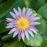 Lotus flower bloom Stock Photos