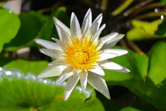 Flower. Lotus flower is blooming above the water royalty free stock photo
