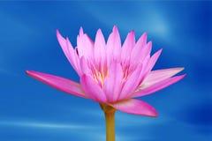 Lotus flower blooming. In blue sky Royalty Free Stock Image