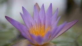 Lotus flower stock footage