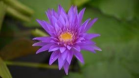Lotus flower stock video footage