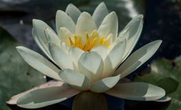 Lotus flower. White Lotus flower close up photo. Water lilly flower isolated macro photography. White flower in a pond. White Lotus flower close up photo. Water stock photo