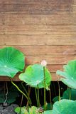Lotus flower blooming beside old wooden wall.  Royalty Free Stock Photo