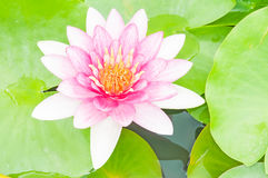 Lotus flower. A blooming lotus flower of pink color over green leafs on background Royalty Free Stock Image