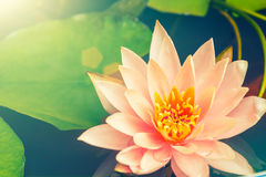 lotus flower blooming in the pond Stock Photos