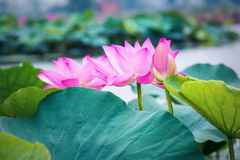 Lotus flower blooming Royalty Free Stock Photo