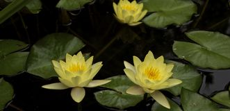 Lotus flower blooming in a pond. Water lilies blooming in a pond during the spring Stock Photo