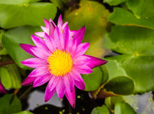 Lotus flower. Blooming at summer Stock Images
