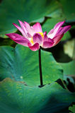 Lotus flower blooming at the sunny day Royalty Free Stock Photography