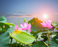 Lotus flower blooming in sunset. On lake stock photography