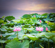Lotus flower blooming in sunset Royalty Free Stock Images