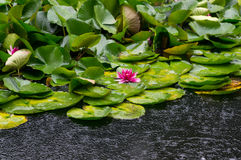 Lotus flower blooming under rain Royalty Free Stock Photo
