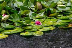 Lotus flower blooming under rain Royalty Free Stock Photo