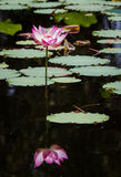 Lotus flower. A blooming lotus (water lily) reflected in the tropical lake Stock Images
