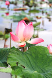 Lotus flower blossom Stock Photo