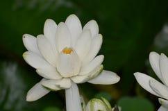 Lotus Flower Blossom de florescência branca em uma lagoa foto de stock