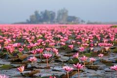 Lotus flower blossom of field. Closeup lotus flower blossom of field Royalty Free Stock Photos