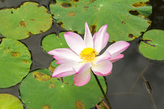 Lotus flower blossom. Royalty Free Stock Photography
