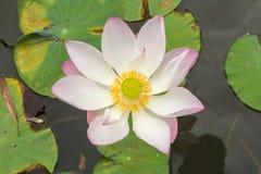 lotus flower blossom. Stock Photos