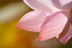 Lotus flower blossom in sunlight stock photo
