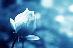 Lotus flower blossom Royalty Free Stock Images