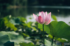 Lotus flower. Blossom in water pond back lit daytime view Royalty Free Stock Images