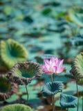 Lotus Flower Blossoming nell'ambito di forte luce solare Immagine Stock Libera da Diritti