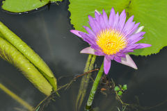 Lotus flower blumming in pond. Beautiful Lotus flower blooming in pond Stock Photography