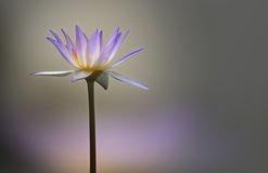 Lotus flower on blur background Royalty Free Stock Images