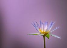 Lotus flower on blur background Royalty Free Stock Photo