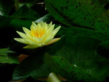 Lotus Flower. With bright green lily pads in the background Stock Photography