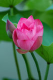 Lotus flower and bud royalty free stock photography