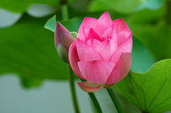 Lotus flower and bud Royalty Free Stock Photos