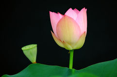 Lotus flower and bud Stock Photo